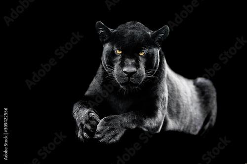 obraz dibond Jaguar with a black background
