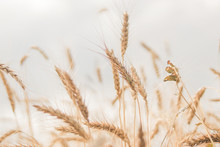 Spikelets Of Wheat Close-up On...