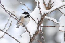 Chickadee Bird Perched On A Snow Covered Branch In Wintertime