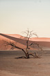 A lonely tree in Namib desert during the sunrise.