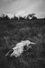 Skull On Deserted Meadow
