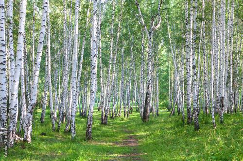 Fototapeta Beautiful birch forest in summer obraz