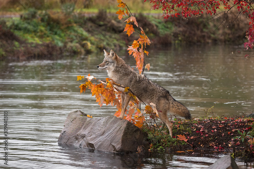 Photo Coyote (Canis latrans) Peers Out on Rock in Pond Autumn