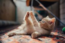 Cute Ginger Kitten Bites His Front Leg