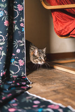 Domestic Cat Hidden In Back Of A Curtain With Flowers Designs
