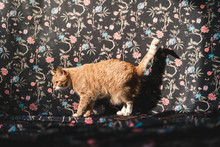 Domestic Cat Walking Over A Cloth With Flowers Designs