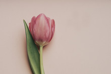 Close-up Of Pink Tulip With Co...