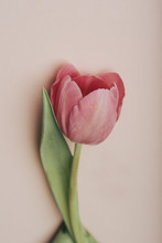 Close-up Of Pink Tulip Flower ...