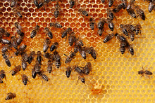 Bees Filling Cells With Honey