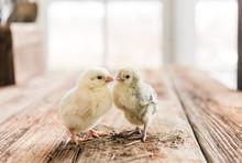 Spring Chicks