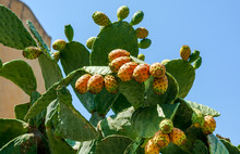Close Up To The Orange Fruits Of Opuntia Ficus-indica (prickly Pear) In Gozo Island, Malta. It Is A Species Of Cactus, Which Is Consumed Widely As Food, As Well As A Green Fence.