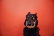 Funny Mixed Breed Dog Portrait Looking Doubtful In Front Of A Red Wall