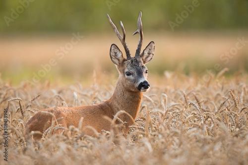 Cuadros en Lienzo Roebuck - buck (Capreolus capreolus) Roe deer - goat