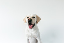 Cute Headshot Of Male Labrador...