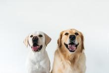 Headshots Of Very Cute Golden ...
