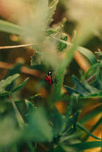 Detail Of A Tiny Ladybug In The Gardens