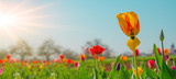 Fototapeta Tulipany - Panoramic landscape of blooming tulips field illuminated in spring by the sun