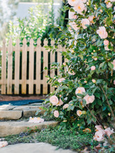 Garden Path With Camellias