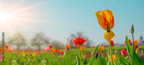 Panoramic landscape of blooming tulips field illuminated in spring by the sun #309456981