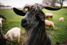 Funny Goat With Bang And Beard...
