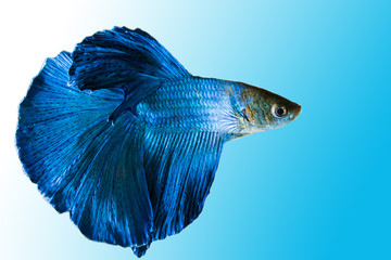 Siamese Fighting Fish, Shot-finned Siamese Fighting Fish on background with clipping path