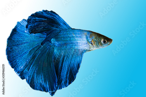 Siamese Fighting Fish, Shot-finned Siamese Fighting Fish on background with clip Canvas Print
