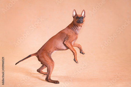 Photo Thai Ridgeback red-haired dog on a red background walks on its hind legs