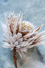 Withered, Dried Flower, Botani...