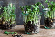 Growing Pea Shoots In Glass Jars