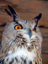 The Eagle Owl Has Bright Orange Eyes. Feathers Stick Out Overhead Like Ears.