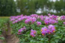Closeup A Purple Potato Flowers