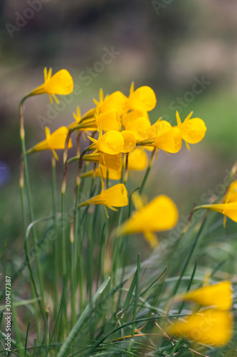Photo Narcissus bulbocodium (petticoat daffodil)