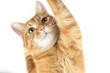 Portrait of a ginger cat raising his paw on a white background