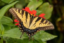 An Eastern Tiger Swallowtail Butterfly Feeding On Zinnia Flowers.