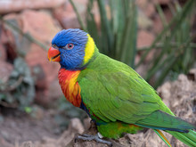 A Rainbow Lorikeet (Trichoglos...