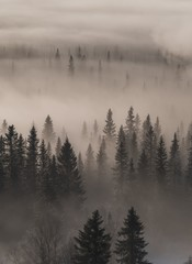 High angle view of an evergreen forest covered in fog - a cool picture for backgrounds