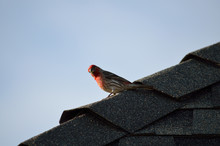 Male House Finch Looking Curious