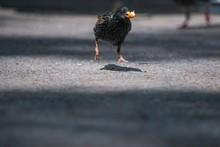 Black Starling Bird With A Bai...