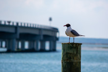 Laughing Gull On Post By Bridge