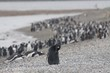 Flock of cute black penguins  standing on the stony coast