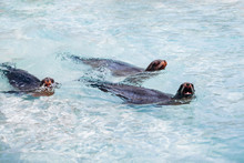 Sea Lions Swim In Turquoise Sea Water