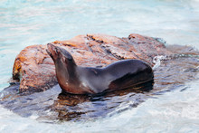 Sea Lion On A Rock In The Sea Basking In The Sun