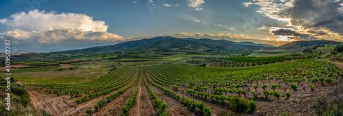 Carta da parati  sunset in the vineyards vines in spring