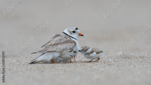 Valokuva A Piping Plover provides shelter for her hatchlings.