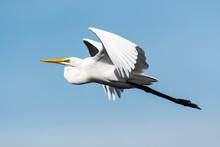 ダイサギ飛翔(Great Egret)