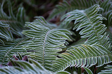 Fern Green Leaves Covered With Hoar Frost In Winter.