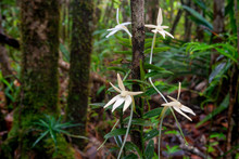 Arboreal Orchid From Madagascar