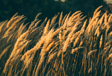 Summer Or Autumn Landscape At Sunset In A Field With Tall Grass