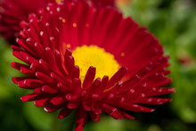 Beautiful Red Flower With A Green Background - Daisy Red Bellis Perennis Super Enorma