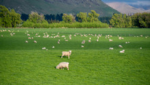Flock Of Sheep In Green Pasture